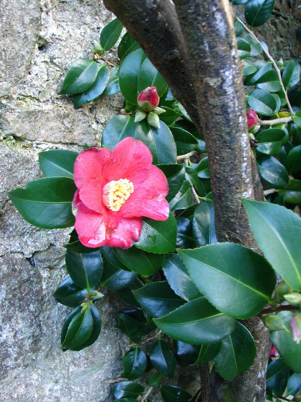 Pandia Camellia.jpg