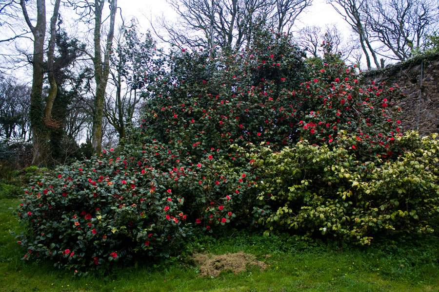 Camellia visited by Queen Mary.jpg
