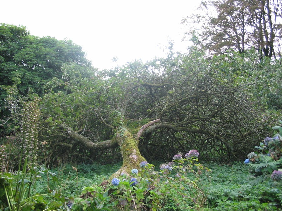 Denshams Delight Apple Tree.jpg