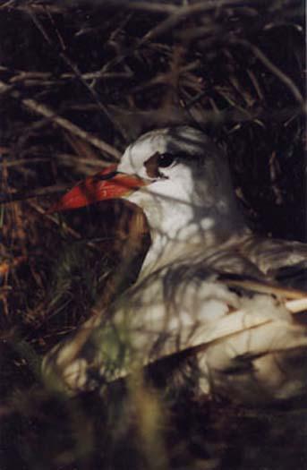 Red Tailed Tropic Bird.jpg