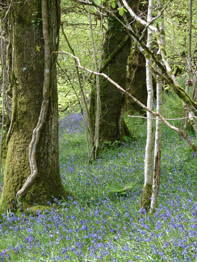Bluebell Woods.jpg