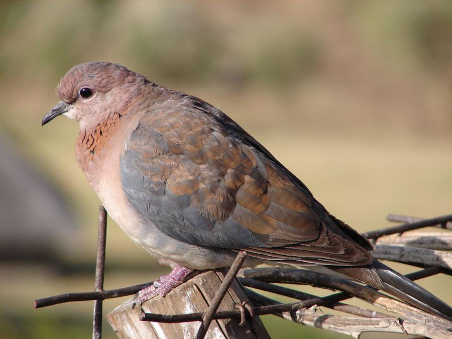 Dove at Sunbird.jpg