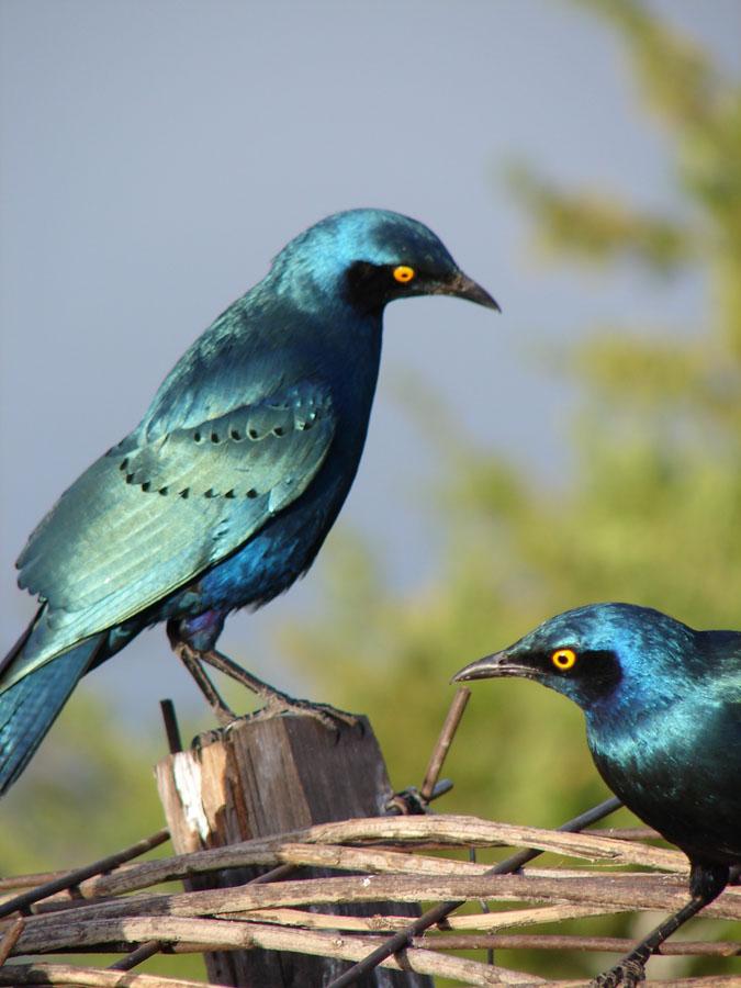 Greater Blue Eared Starling at Sunbird.jpg