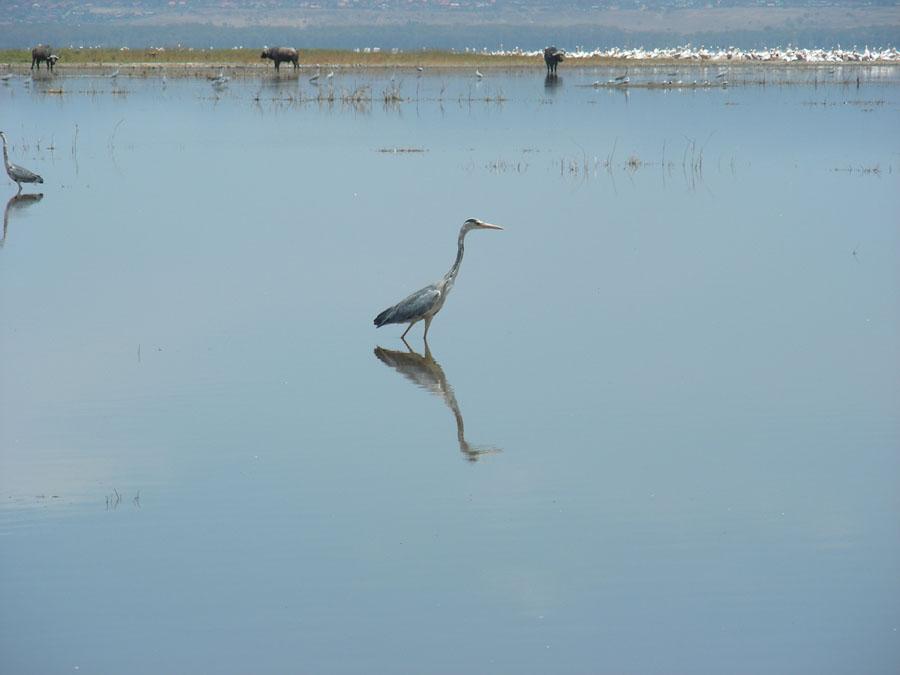 Heron at Nakuru.jpg