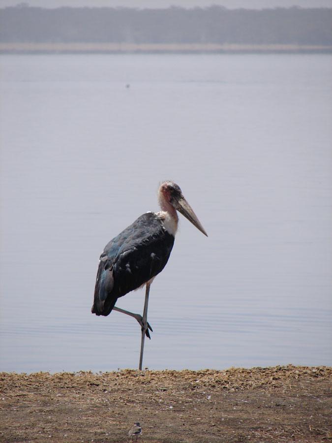 Marabu Stork.jpg