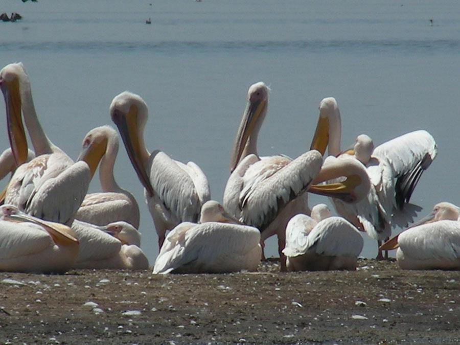 Pelican at Nakuru.jpg
