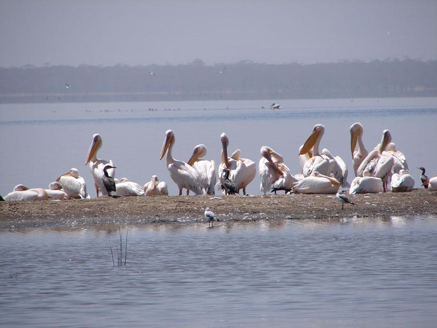 Pelicans Nakuru.jpg