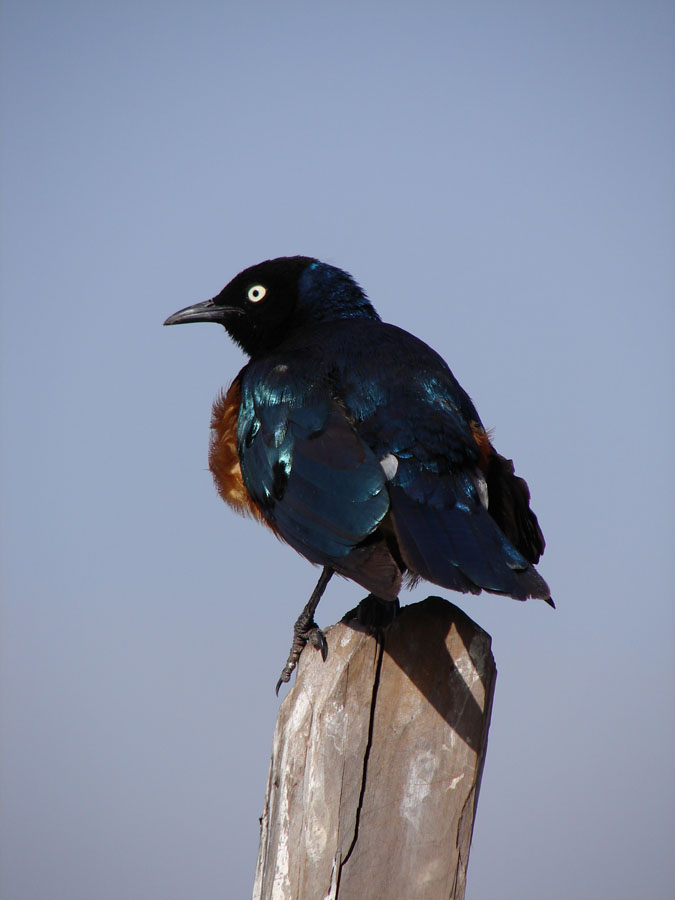 Superb Starling.jpg