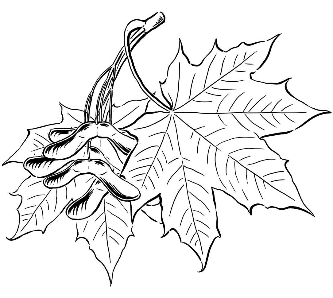 spitzahorn_illustration_pflanzenillustration.jpg