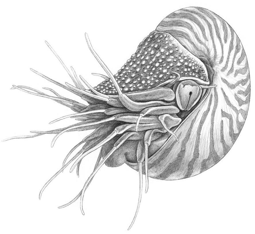 wissenschaftliche_bleistiftzeichnungen_nautilus-2.jpg