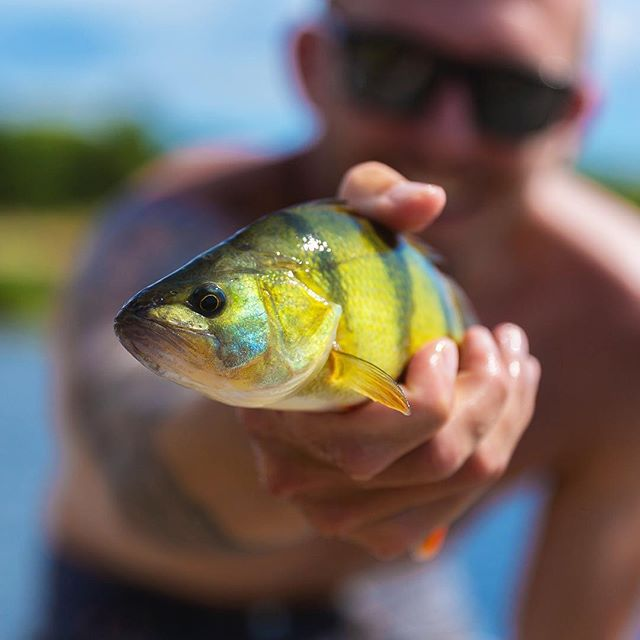 Warm summer days and Perch on the fly! #lucasflyfishing #flyfishing #thatsnotatrout #flyfishingjunkie #flyfishingnation #flyfishingphotography #perch #perchfishing #abborre
