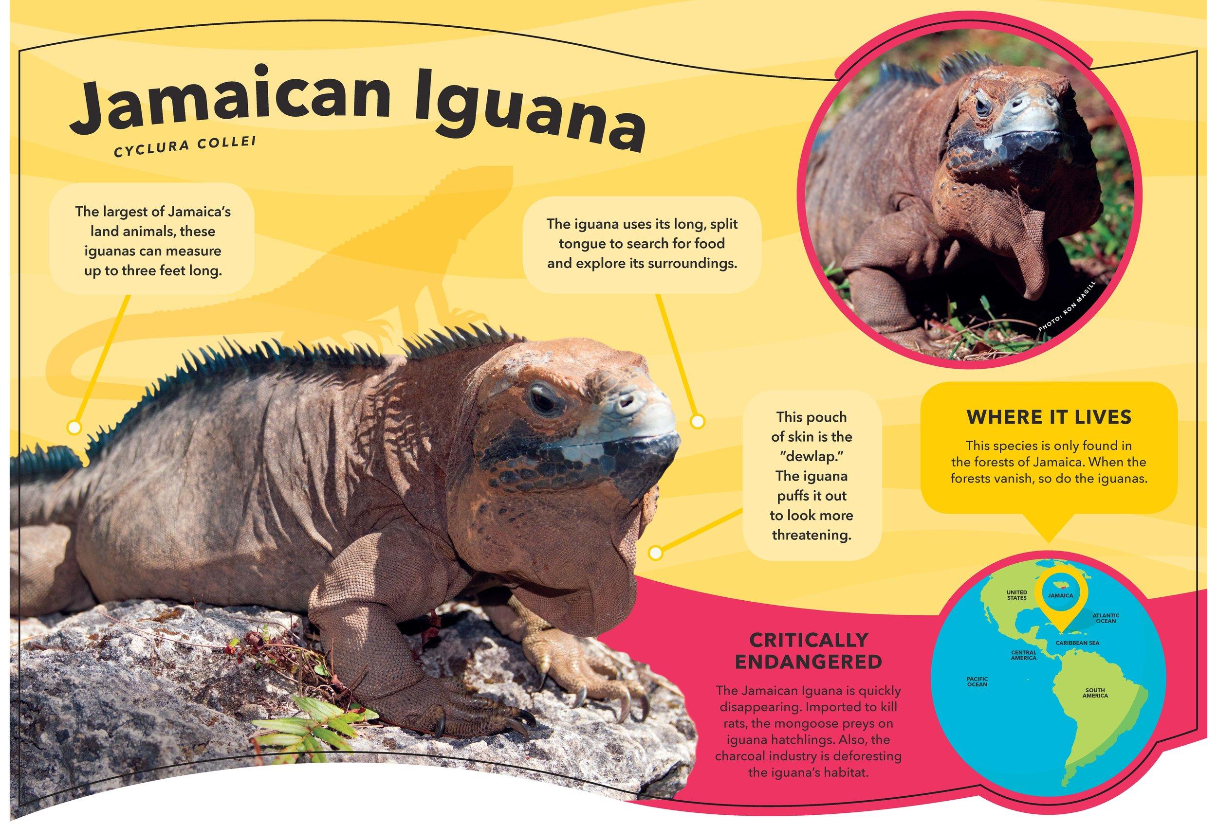 ZNE-CaribbeanCoast-SpeciesID-Bleed-Iguana.jpg