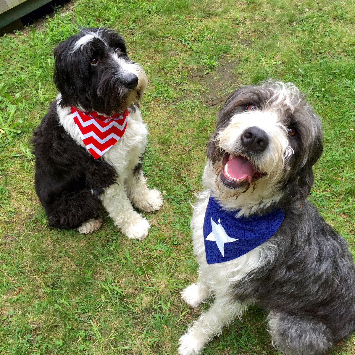 I sewed bandanas for the dogs! Harlow, on the right, is mine, and Bootsie who tends to be camera shy, belongs to my parents.