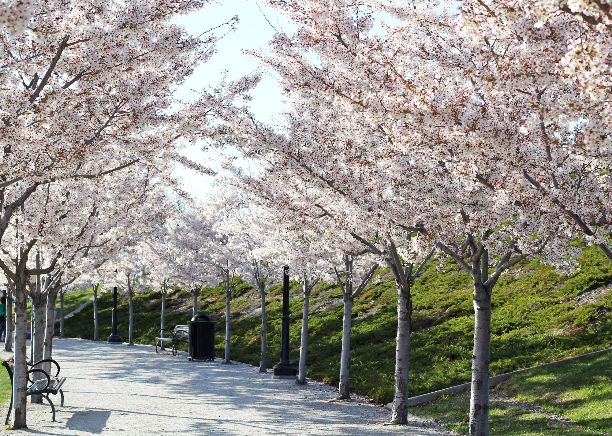 Yoshino cherry trees — Cotton Cashmere Cat Hair