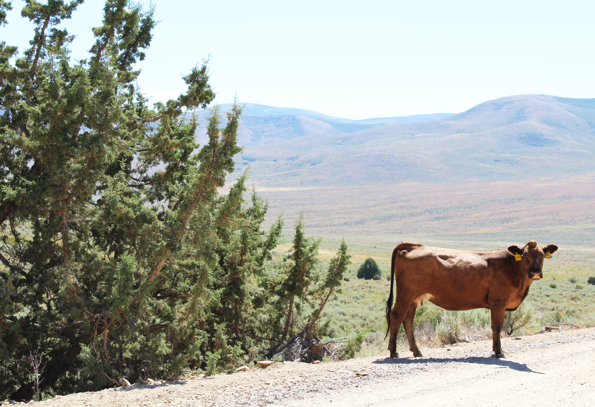Livestock near City of Rocks National Reserve, Idaho — via Cotton Cashmere Cat Hair