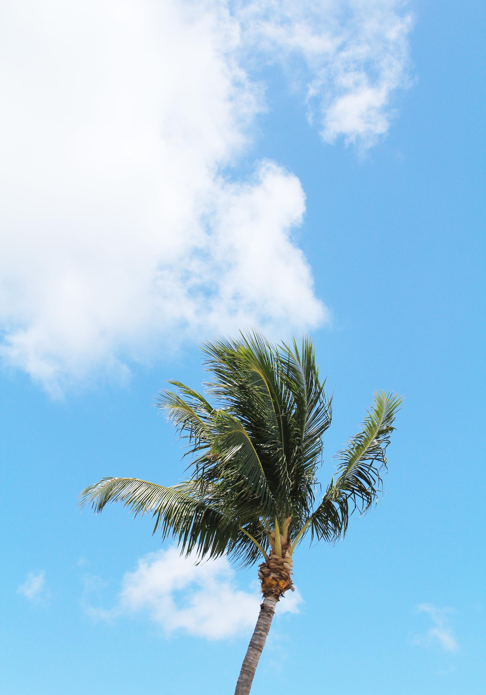 Palm tree at Sombrero Beach, Marathon, Florida — Cotton Cashmere Cat Hair