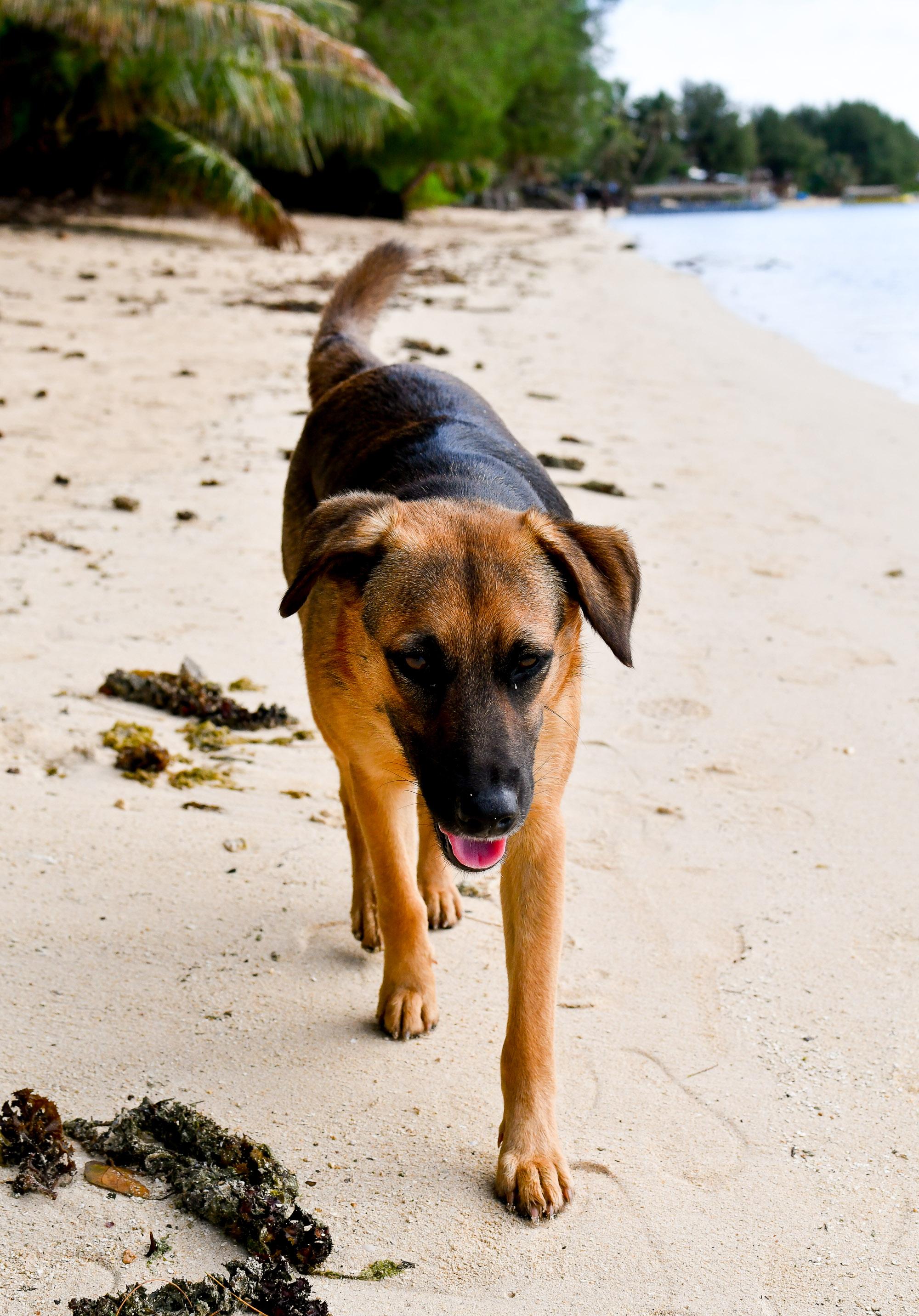 Rarotonga dog on Muri Beach, Cook Islands — Cotton Cashmere Cat Hair