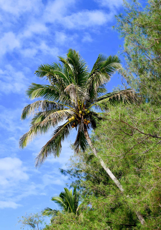 Coconut palm tree on Muri Beach, Rarotonga, Cook Islands — Cotton Cashmere Cat Hair