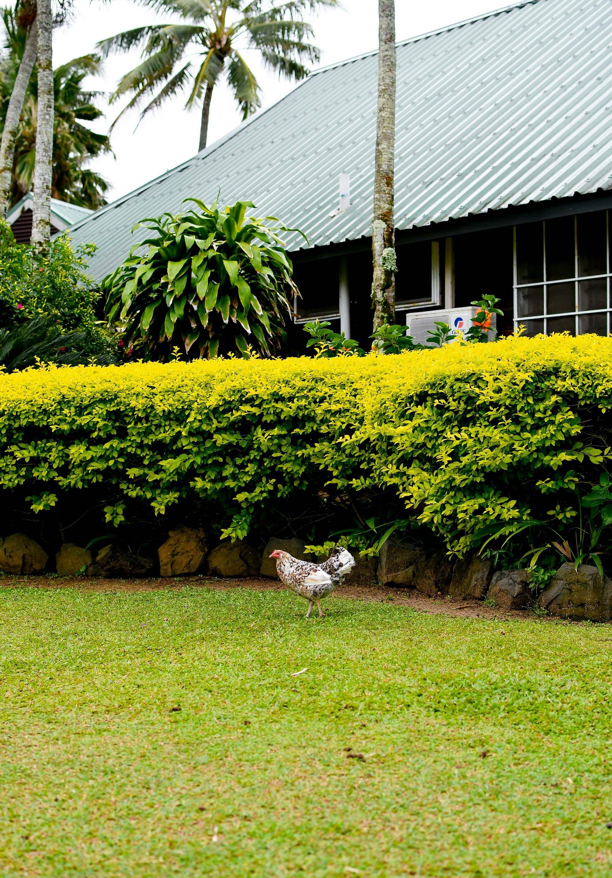 Wild Rarotonga chicken, Cook Islands — Cotton Cashmere Cat Hair