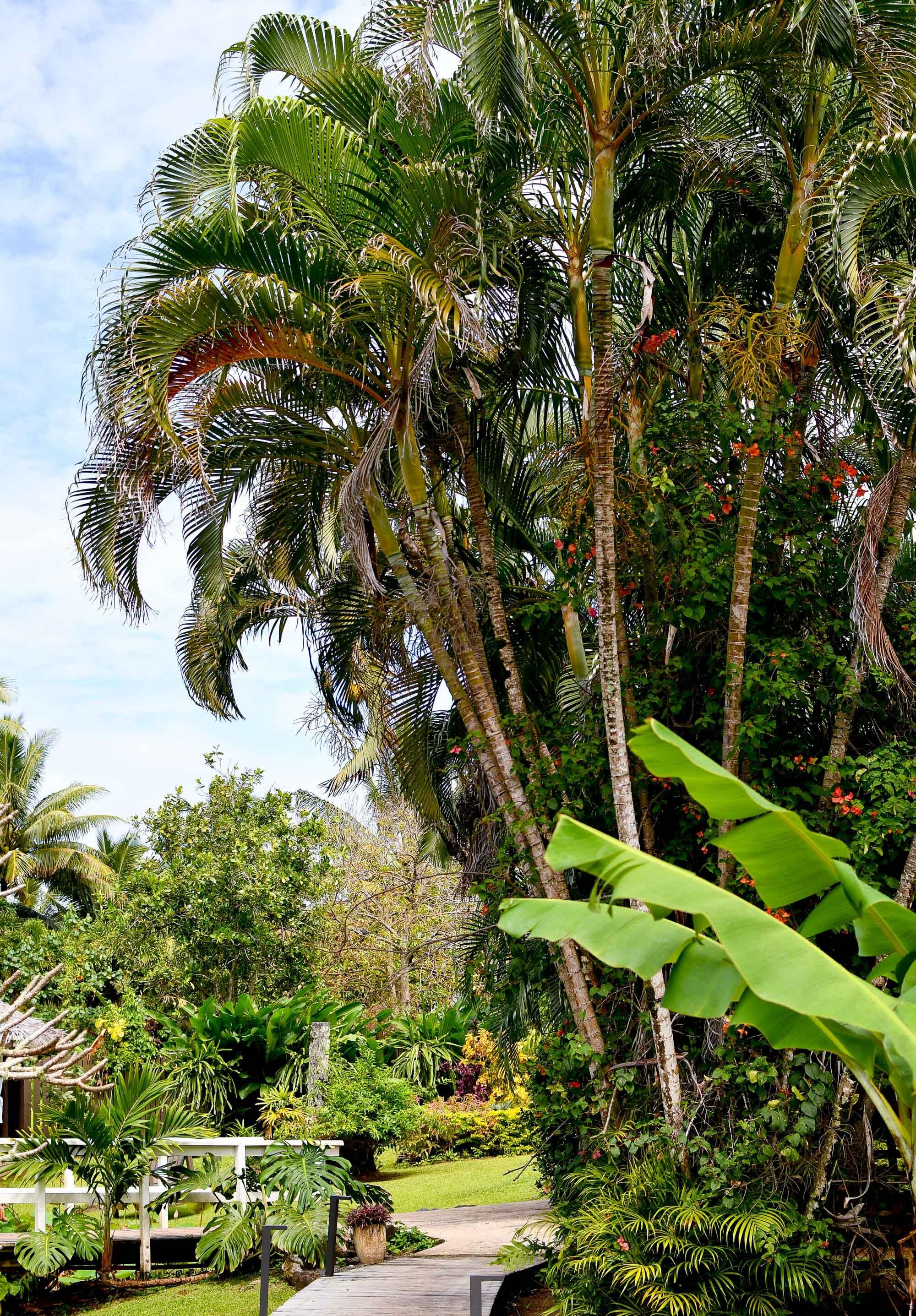 Palm trees at Muri Beachcomber, Rarotonga, Cook Islands — Cotton Cashmere Cat Hair