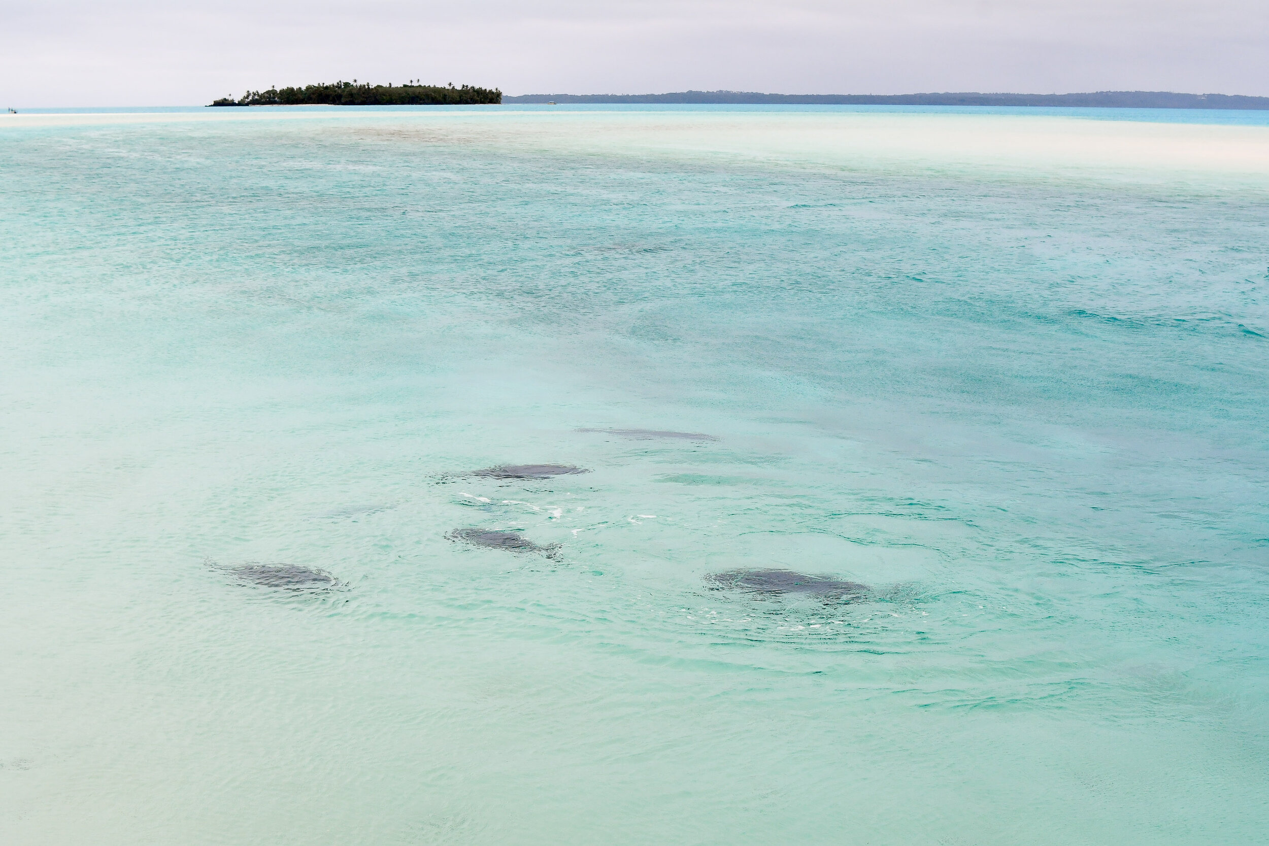 Giant Trevally fish swimming in the Aitutaki lagoon, Cook Islands — Cotton Cashmere Cat Hair