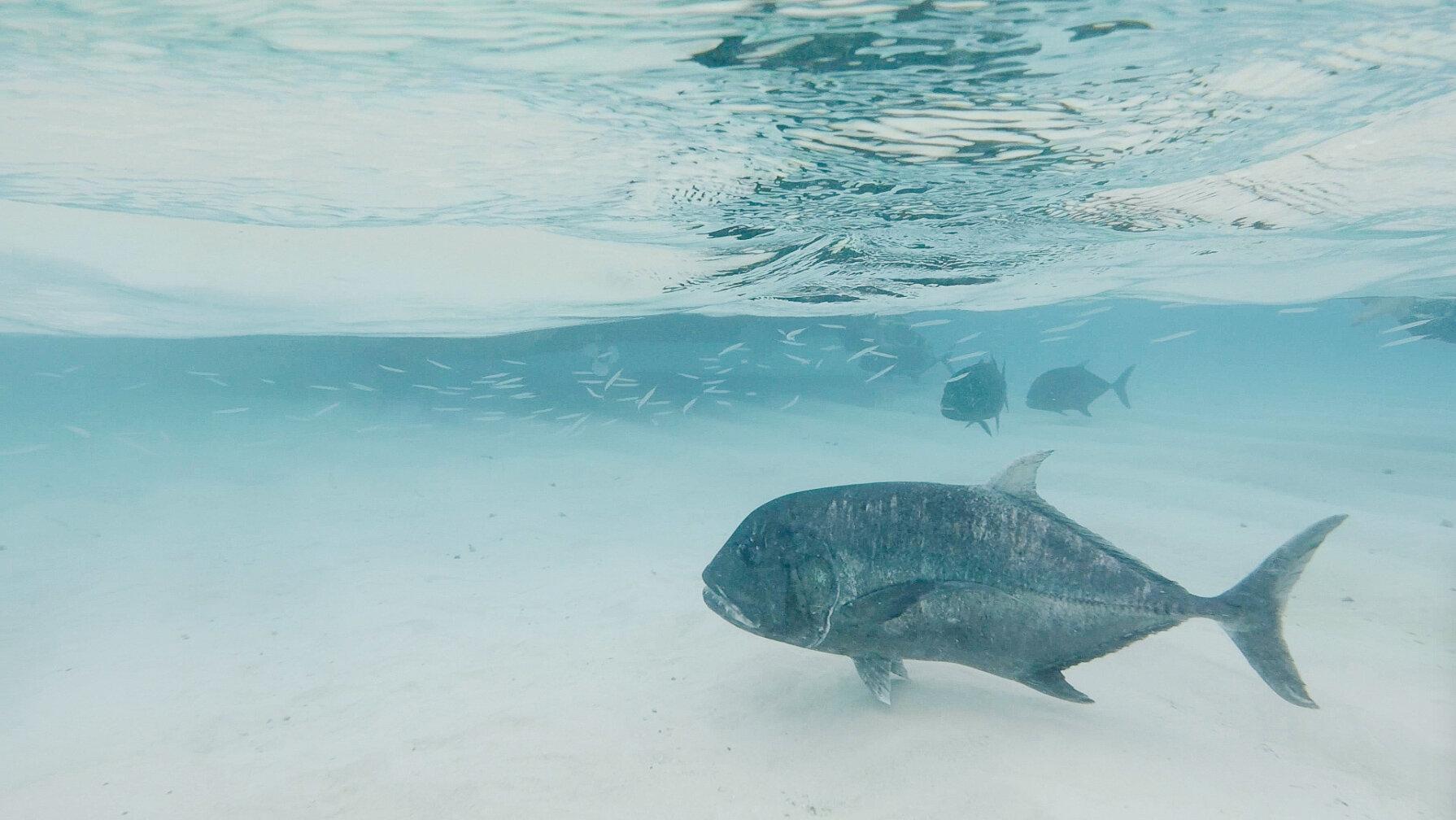 Giant Trevally fish in Aitutaki Lagoon, Cook Islands — Cotton Cashmere Cat Hair