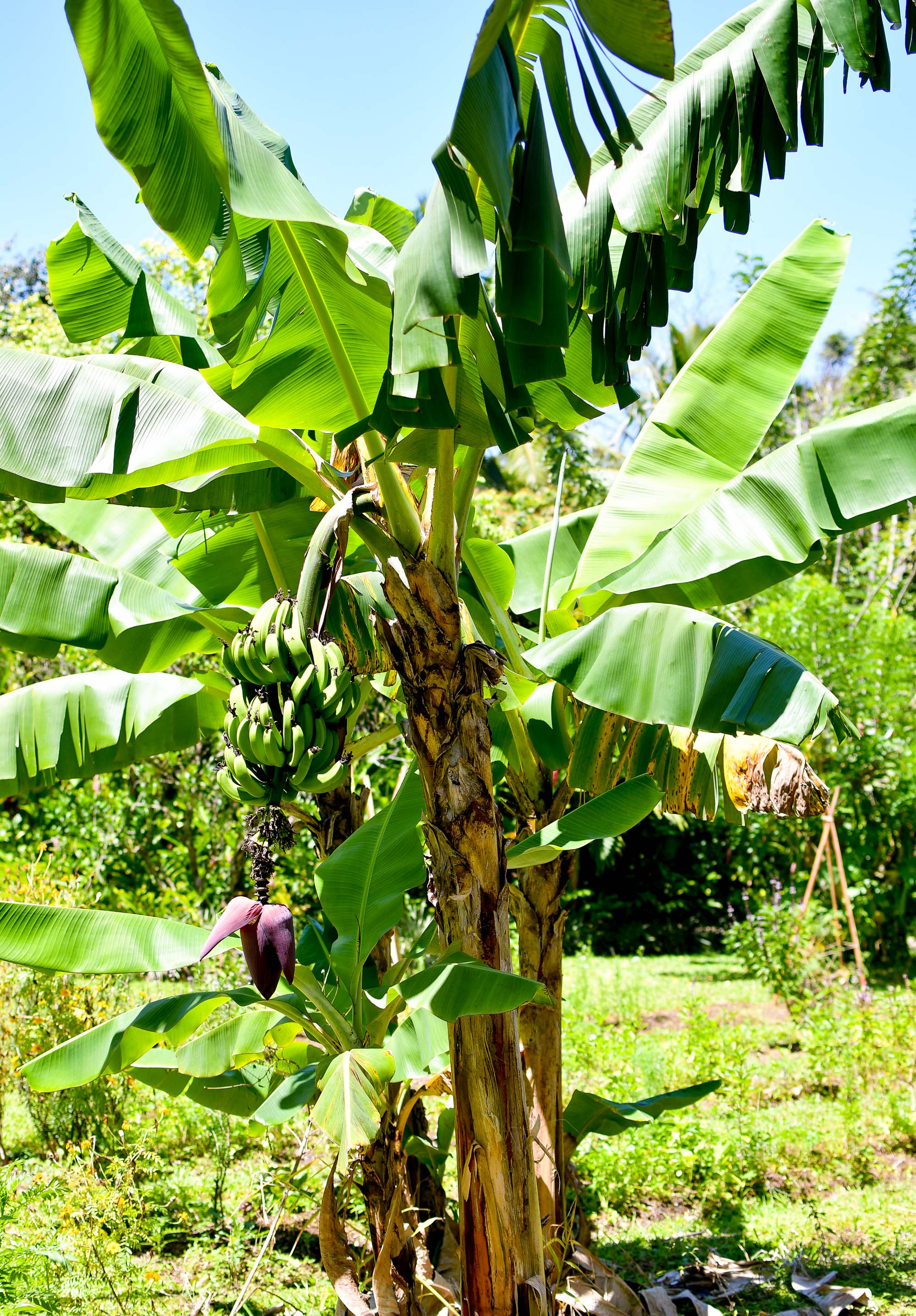 Banana palm tree on Rarotonga, Cook Islands — Cotton Cashmere Cat Hair