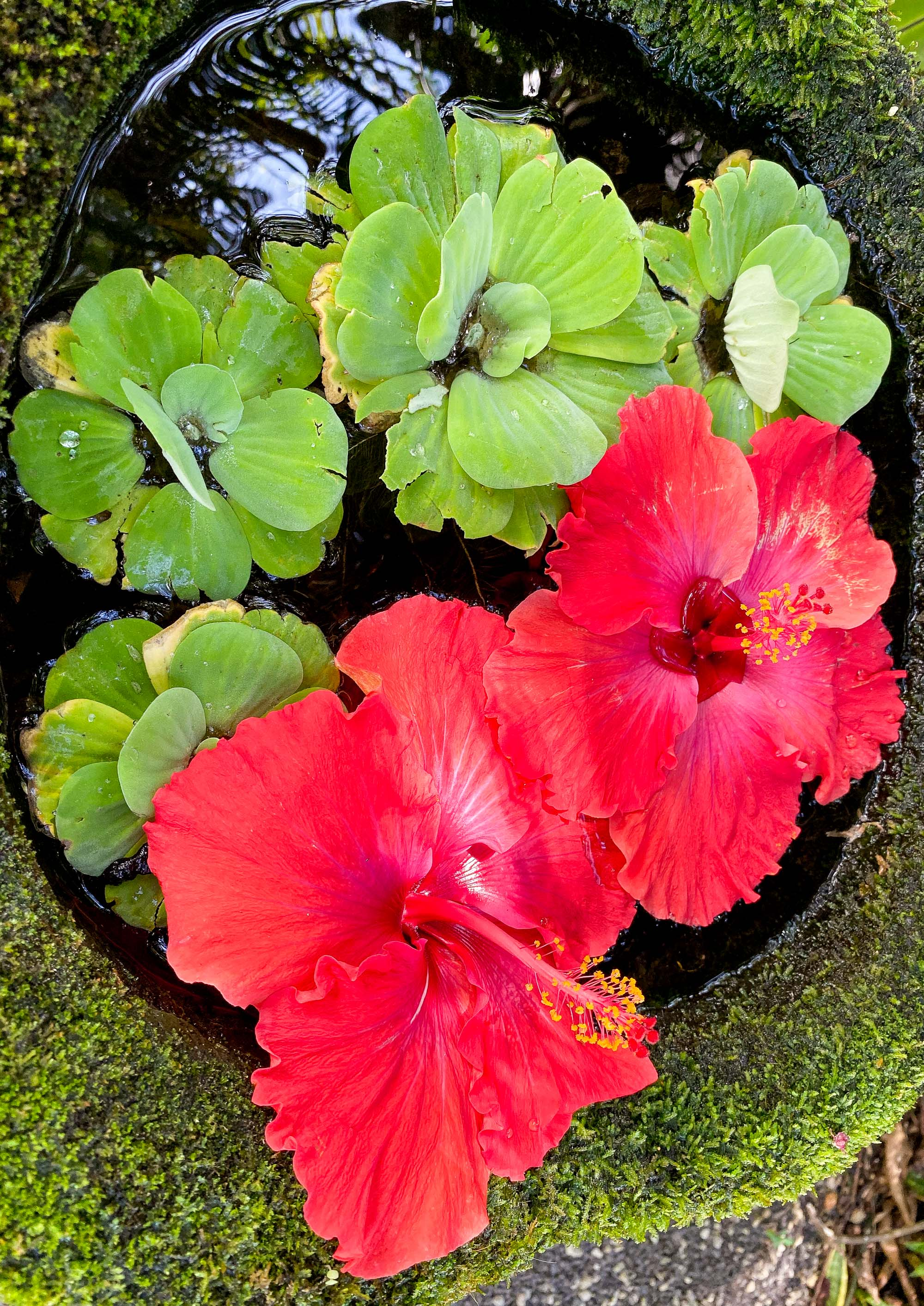Hibiscus flowers at Maire Nui Gardens, Rarotonga, Cook Islands — Cotton Cashmere Cat Hair