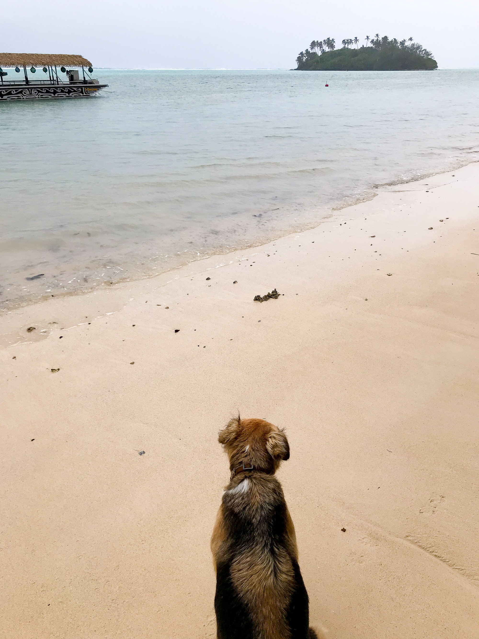 Raro dog in the rain on Muri Beach, Rarotonga, Cook Islands — Cotton Cashmere Cat Hair