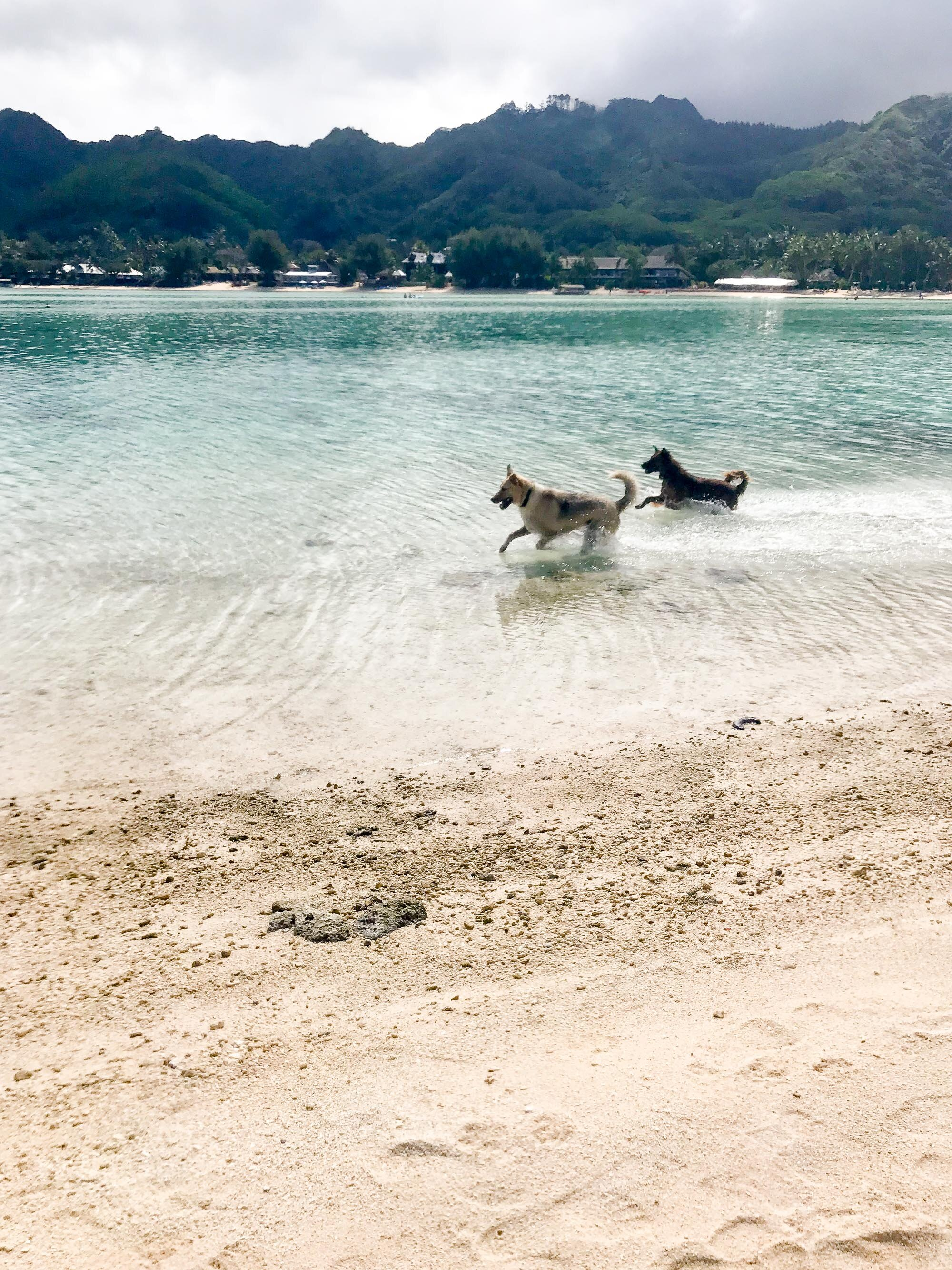 Dogs chasing drone in Muri Lagoon, Rarotonga, Cook Islands — Cotton Cashmere Cat Hair