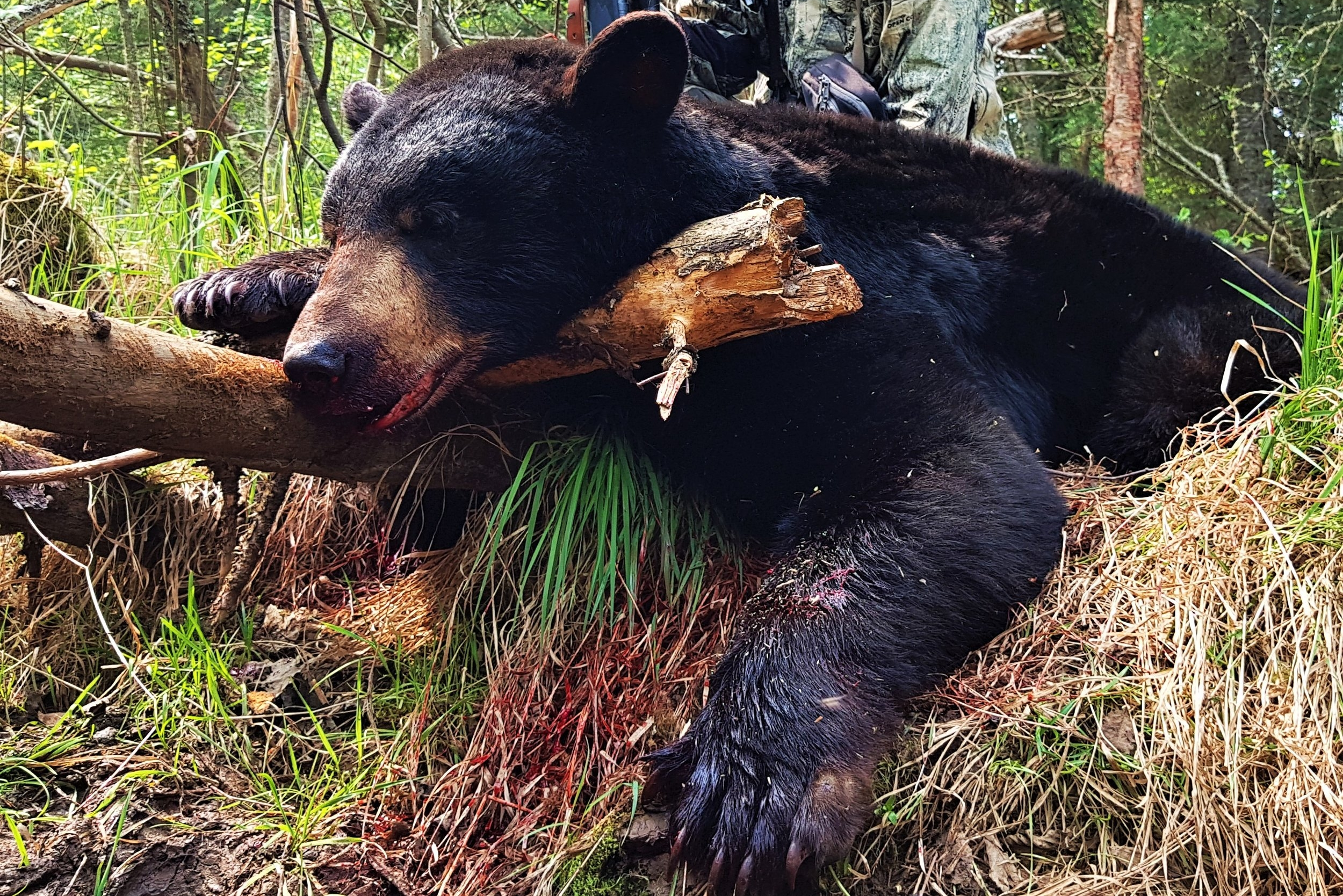 Looking For Bear Hunts? - Click Here