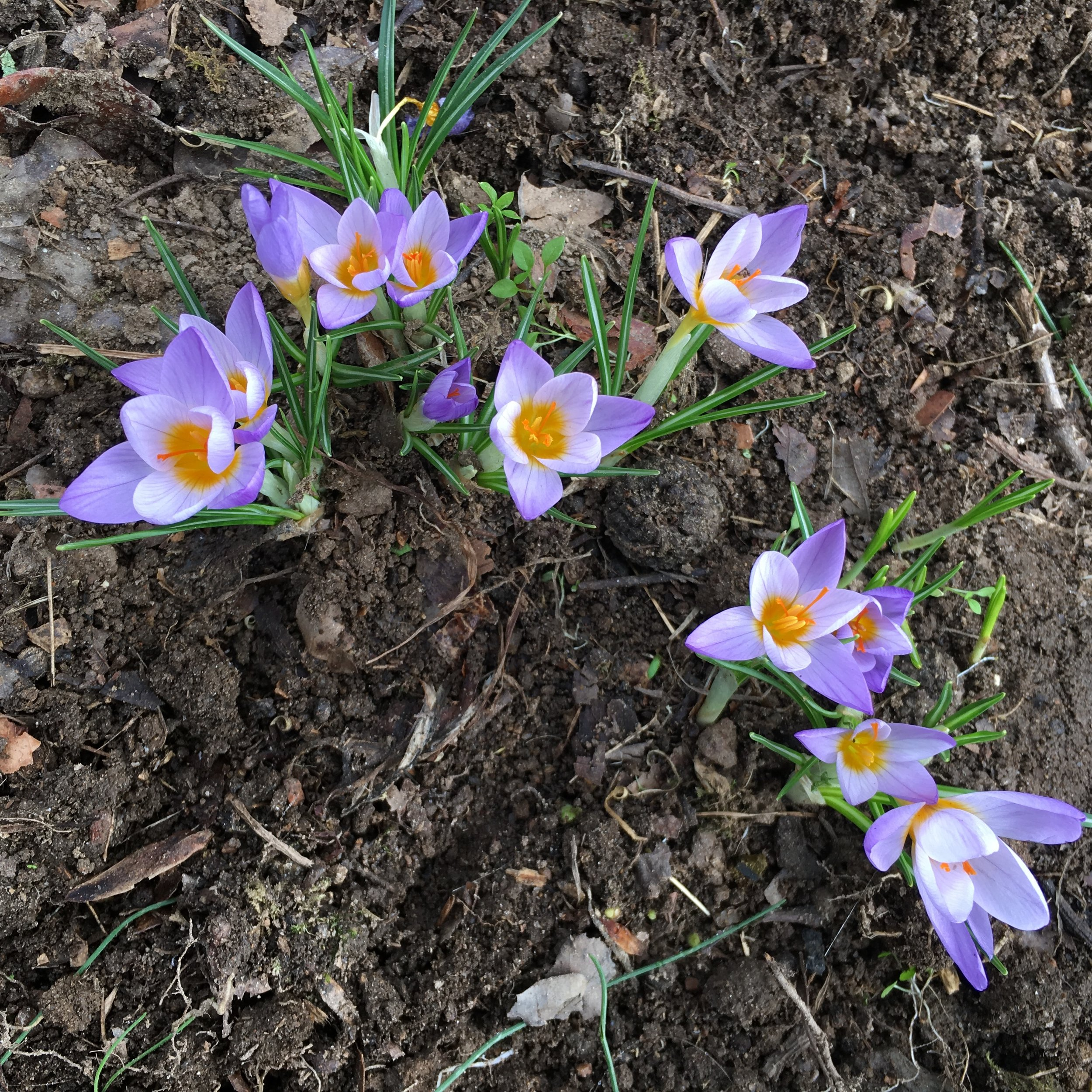 Crocuses in February