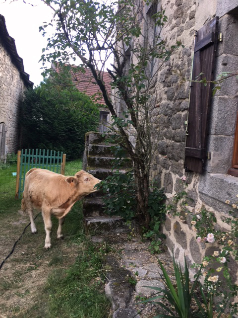 Today's visitor,  la vache,  is the domesticated pet of a neighbor; when not at home with her, it is often seen wandering the village
