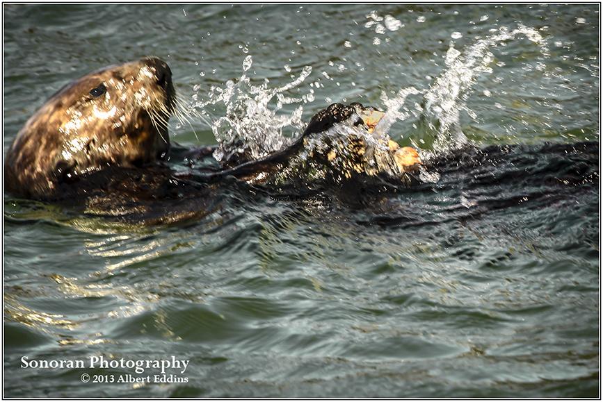 Sea Otter Cracking Shells - Moss Landing, California