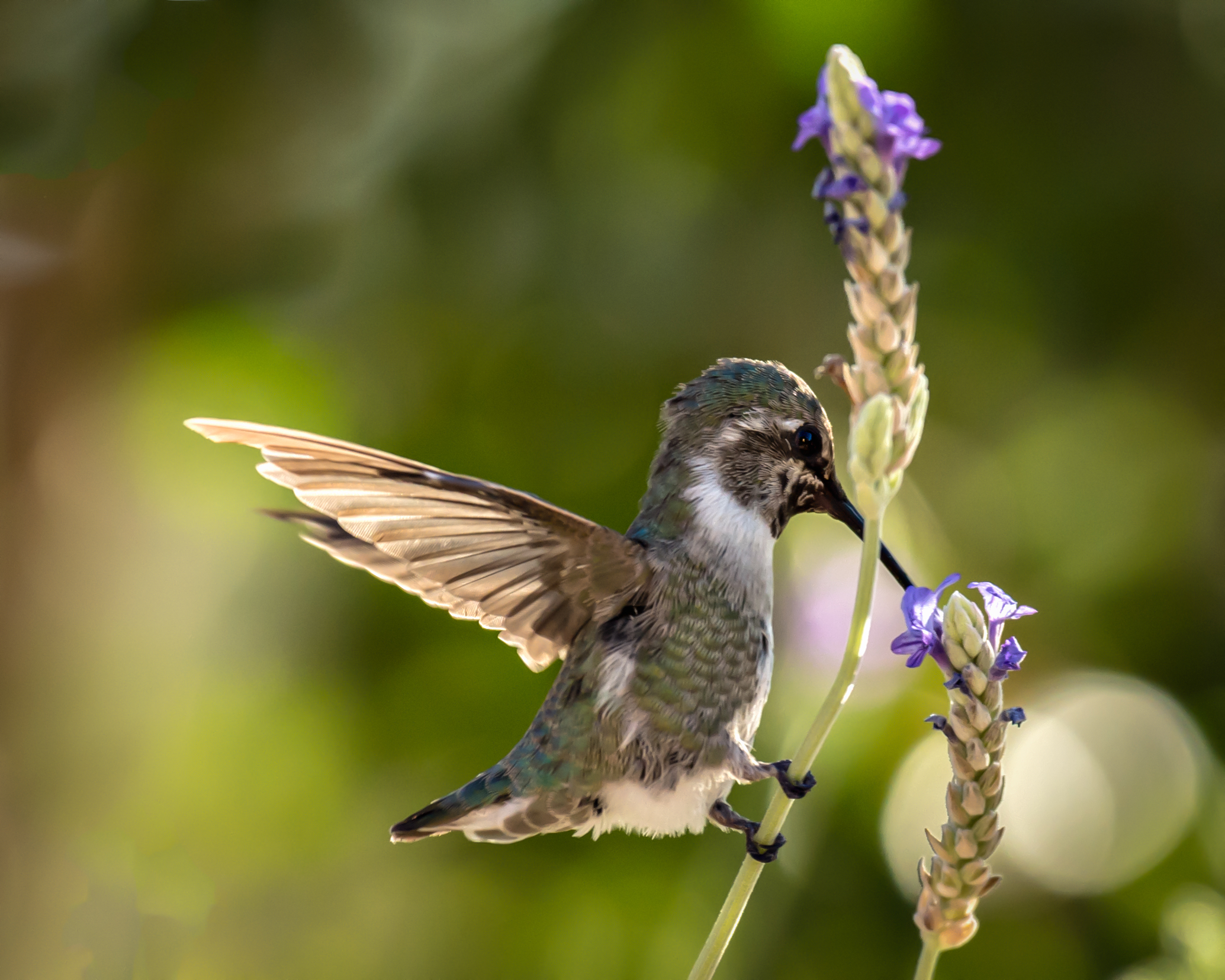 API_Hummingbird-Labor-Day_ASE5867-Edit.jpg