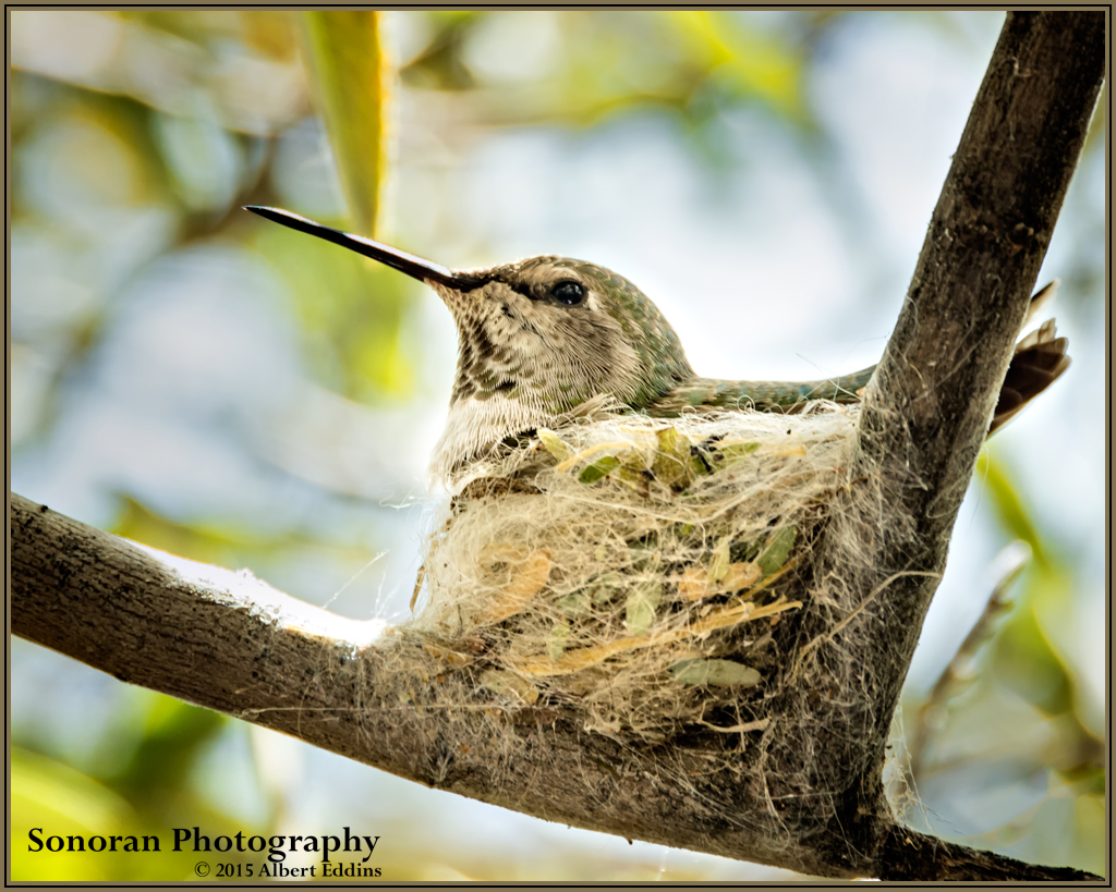 Hummingbird on Nest - Tucson, Arizona