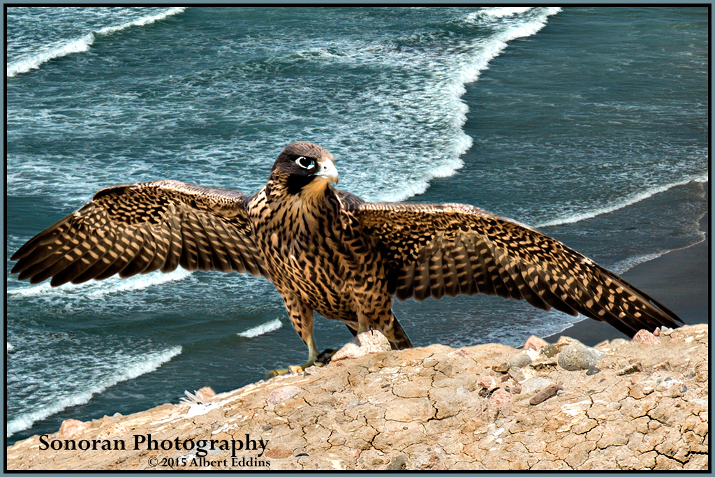 Fledgling Peregrine Falcon on First Day of Flight - California