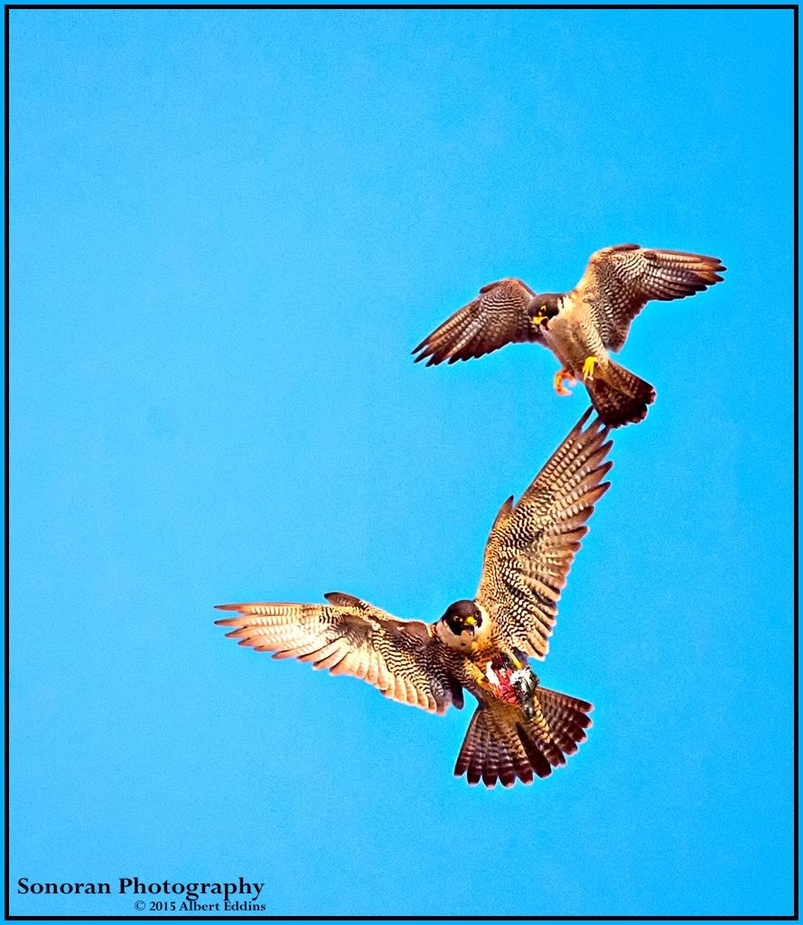 Peregrine Falcons Complete Prey Exchange - California