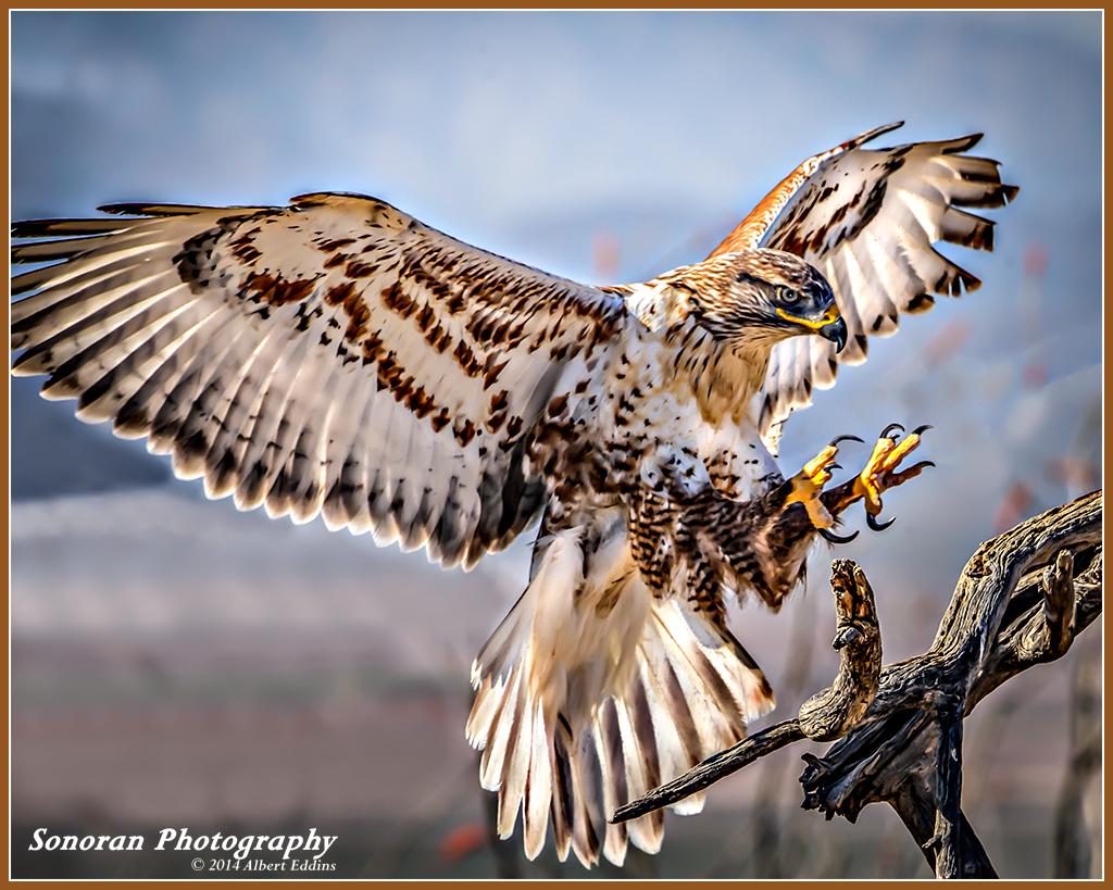 Ferruginous Hawk On Landing - Arizona