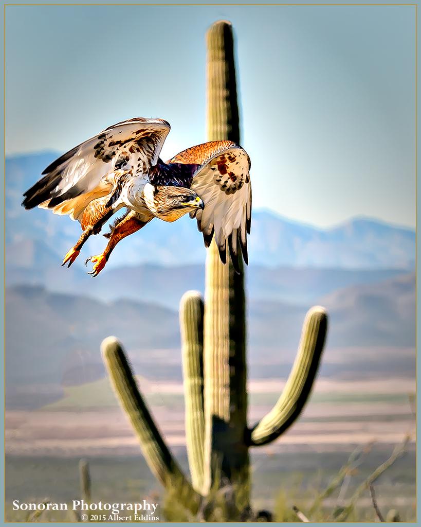 Ferruginous Hawk Flies by Saguaro - Arizona
