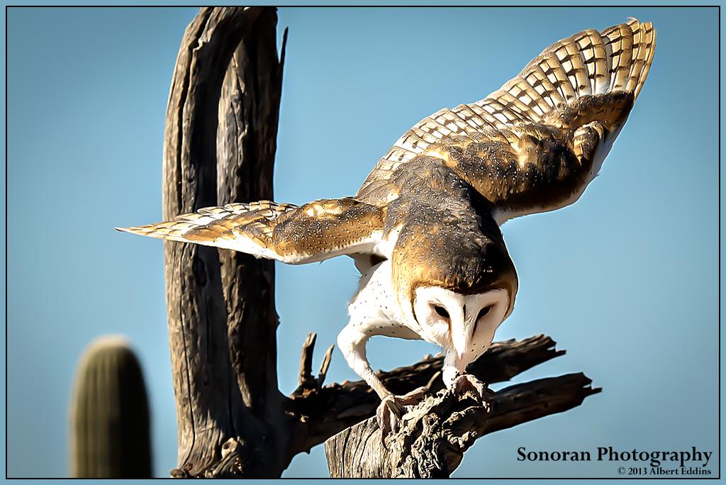 Barn Owl Locking On - Arizona