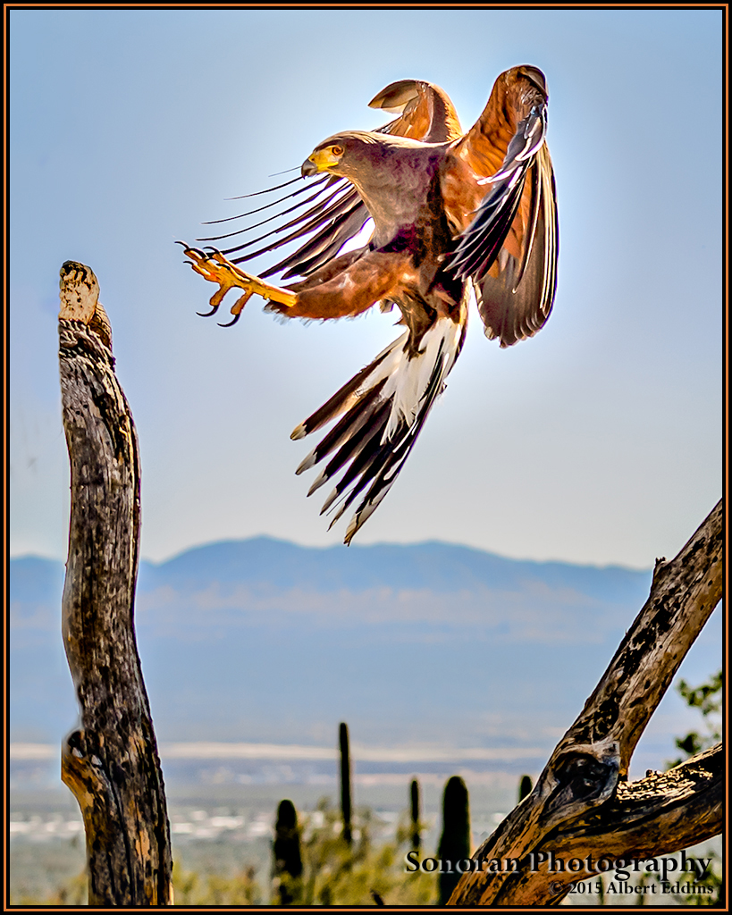 Harris's Hawk On Landing - Arizona