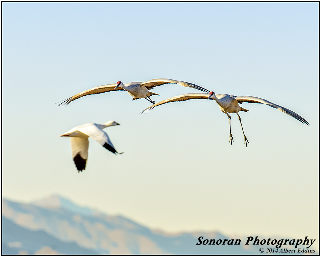 Cranes and one Snow Goose_ASE8135.jpg