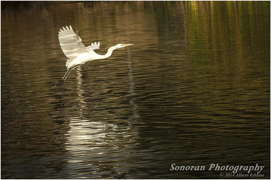 Egret in Evening_0696.jpg