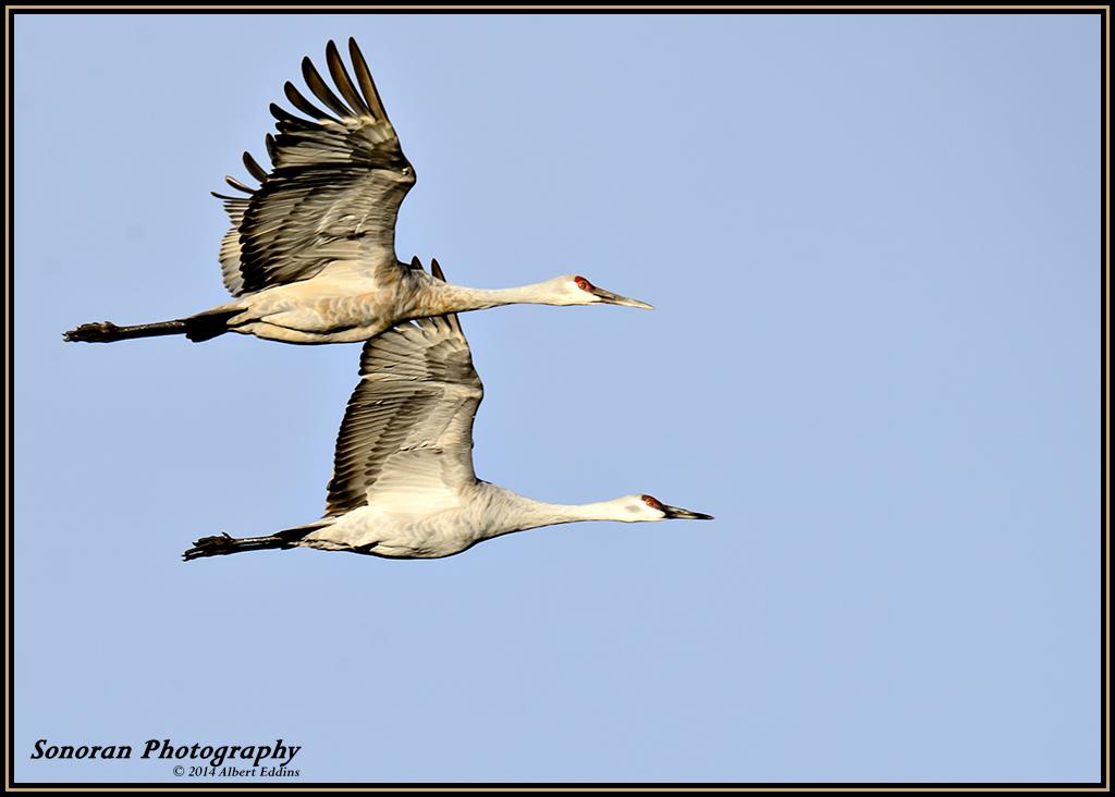 Sandhill Cranes_ASE6998.jpg