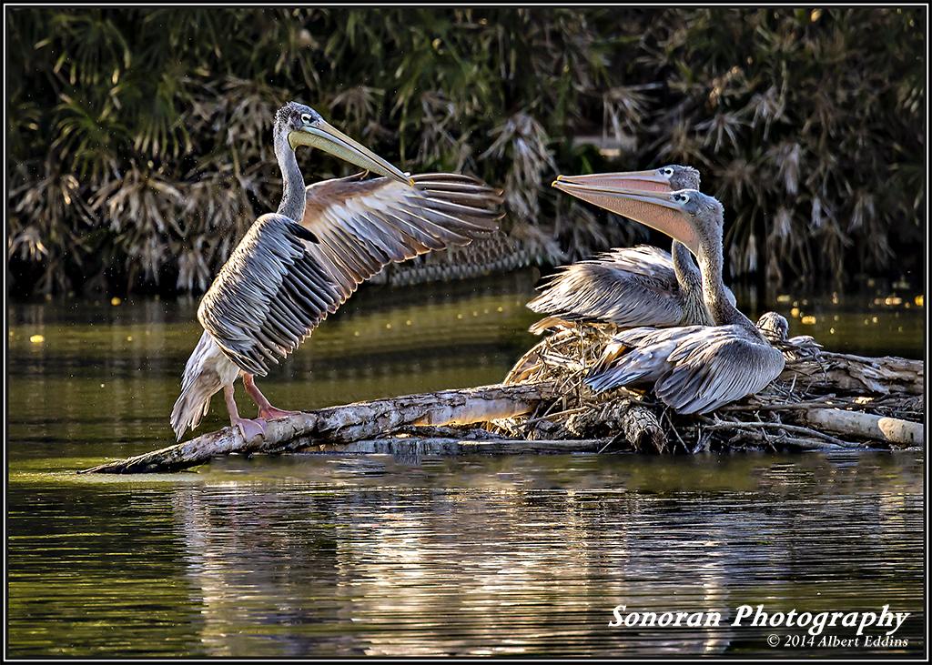 Pelicans taking singing lessons - California