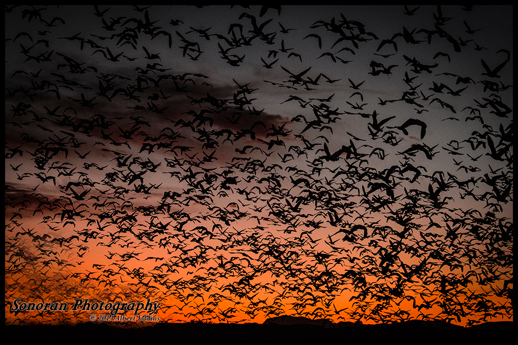 Snow Geese and Sandhill Cranes Going Home To Roost - New Mexico