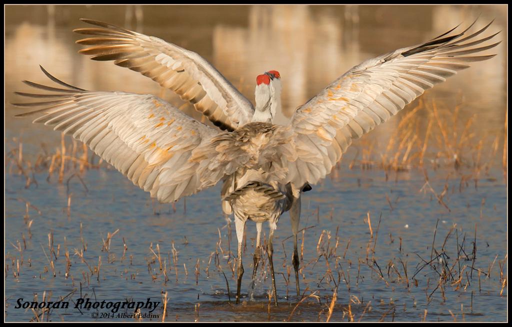Sandhill Cranes - Lets Dance - Bosque Del Apache - New Mexico
