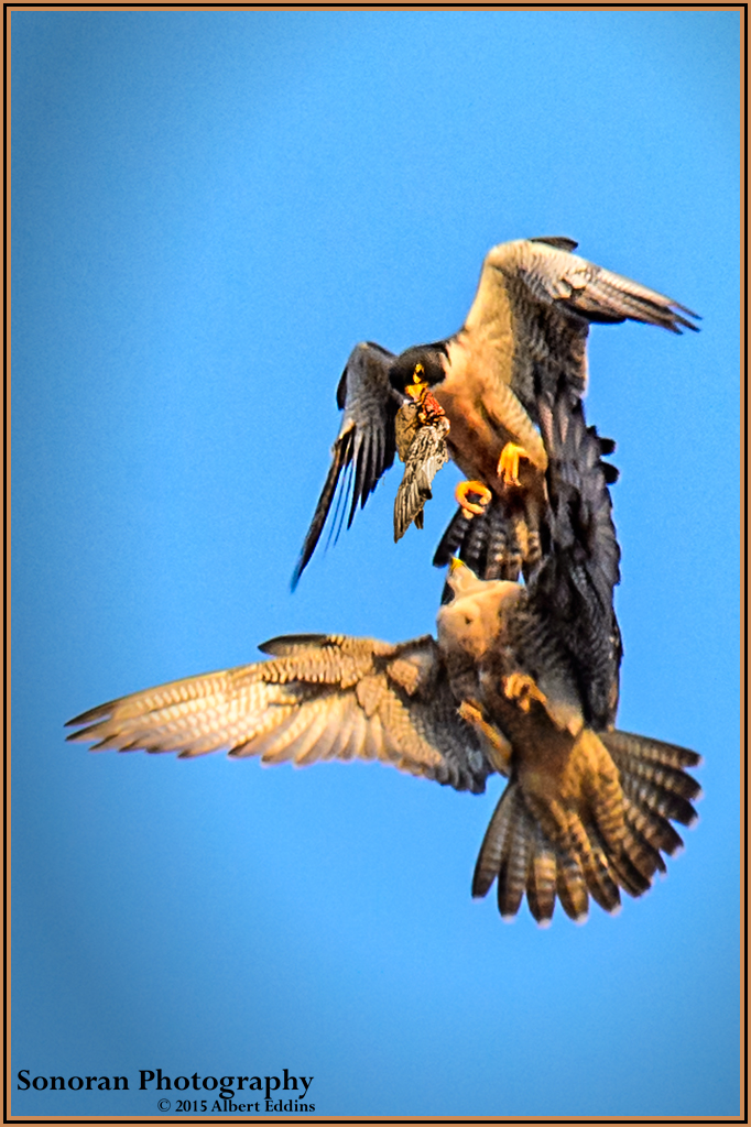 Peregrine Falcons Attempt Aerial Prey Transfer - California