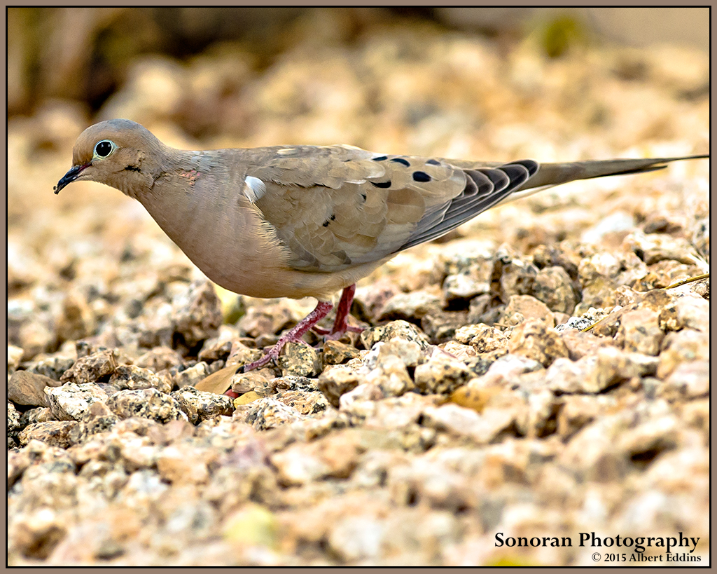 Mourning Dove - Arizona